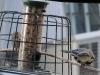 Kohlmeise bearbeitet Sonnenblumenkern auf Ast neben Futtersäule (+ Spatz)
