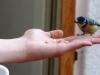 Blaumeise auf Pattis (der Sohnemann) Hand