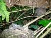 Junge Amseln im Nest, die Mutter passt drauf auf
