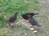 Die jungen Amseln nehmen jetzt selbstständig Futter auf, während Papa Peter auf sie aufpasst und Mama Isabell schon wieder brütet