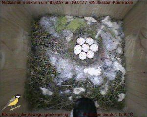 Brutbeginn mit 7 Eiern