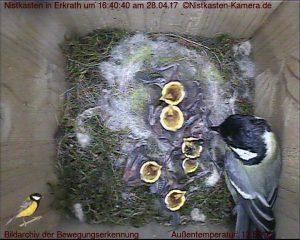 1 Woche alte Nestlinge